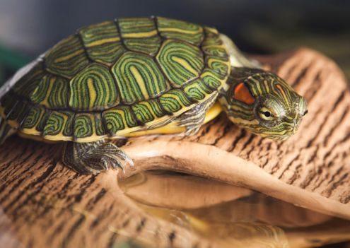 CVRS Policlinico Veterinario Roma Sud | tartaruga acquatica