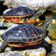 animali esotici tartarughe