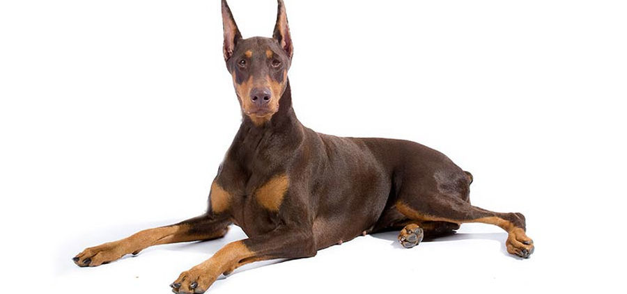 ardiomiopatia dilatativa cane