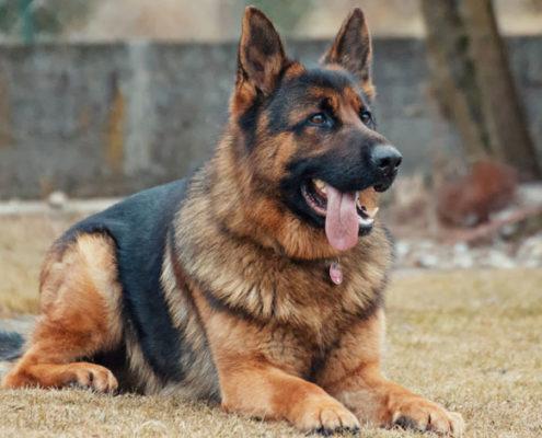 tachicardia ventricolare cane