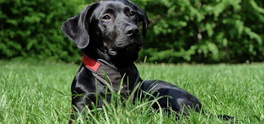cane insufficienza mitralica